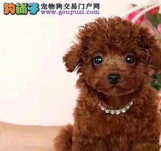 品质健康有保障武汉泰迪犬热卖中期待您的咨询2