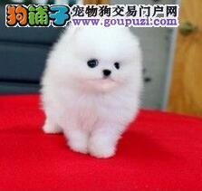 袖珍博美哈多利小体博美犬出售 小巧玲珑健康活泼好动
