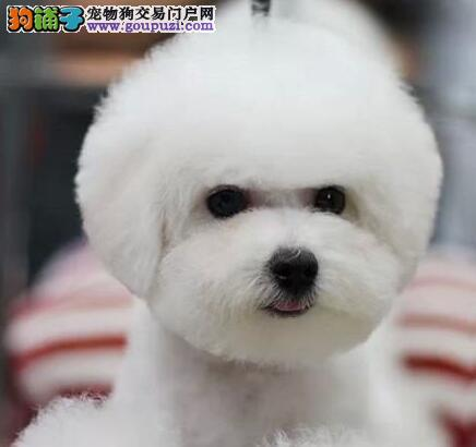 超级可爱的白色卷毛泰迪熊