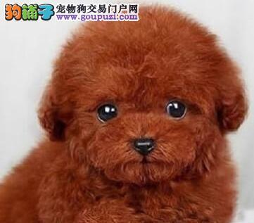 纯种韩系泰迪犬成都犬舍低价转让 进口血统国外引进