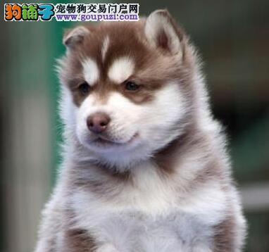出售鹤岗哈士奇专业缔造完美品质微信咨询视频看狗
