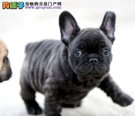 家养极品法国斗牛犬出售 可见父母颜色齐全以品质惊世人1