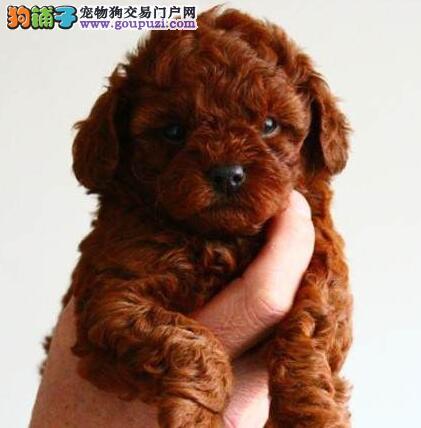 可爱韩系泰迪犬低价转让 国外引进欢迎来南宁直接购买1