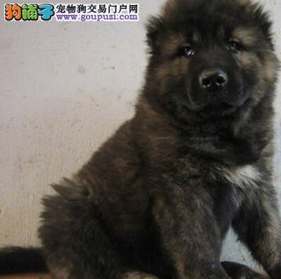 高大威猛的杭州高加索犬火爆低价热销中 可签购犬协议