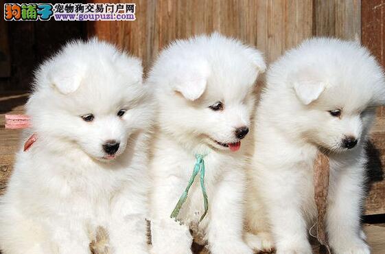 直销萨摩耶幼犬 CKU认证品质 签订正规合同