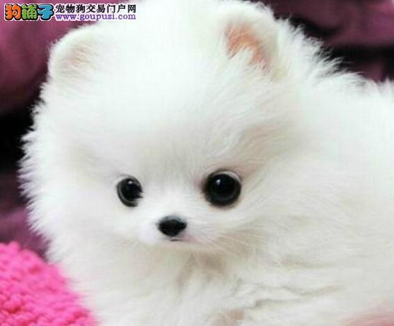 哈多利球形俊介血系的西宁博美犬热卖中 签订售后协议
