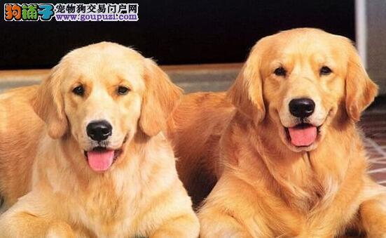 金毛最大的正规犬舍完美售后我们承诺售后三包