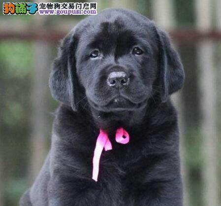转让纯正血统深圳拉布拉多犬 保证狗狗的健康和纯种