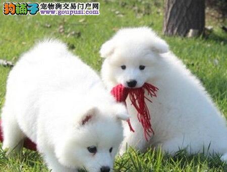 高端萨摩耶幼犬、假一赔十质量保障、等您接它回家1