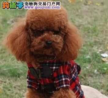 热销多只优秀的纯种泰迪犬幼犬质量三包完美售后1