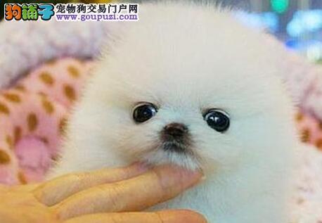 广州出售小体博美犬 超萌哈多利俊介犬品相好品质佳