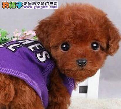 韩国血统微小茶杯苹果脸泰迪犬价格纯种健康签合合同