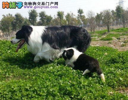 精品边境牧羊犬幼犬一对一视频服务买着放心优质服务终身售后