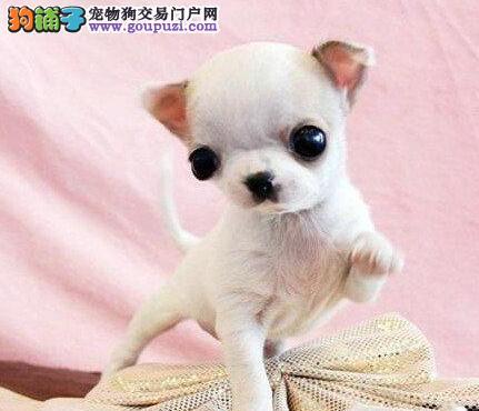 赛级吉娃娃幼犬 真实照片保纯保质 全国送货上门4