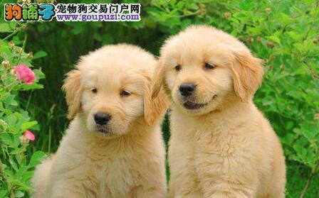 家养纯贵血统金毛犬转让沈阳市区可上门看狗