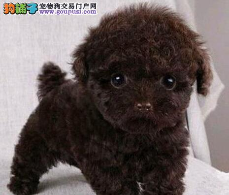 可爱韩系泰迪犬低价转让 国外引进欢迎来南宁直接购买2