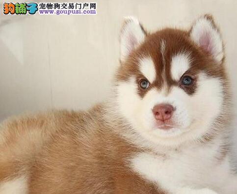 东莞正规的培育中心低价出售哈士奇幼犬 签订售后协议