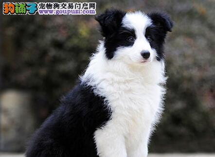 上海出售纯种边境牧羊犬保健康包养活 售后服务保障