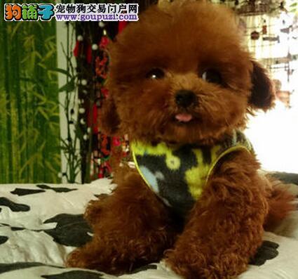 郑州高品质赛级泰迪犬出售终身质保质量三包上门挑选