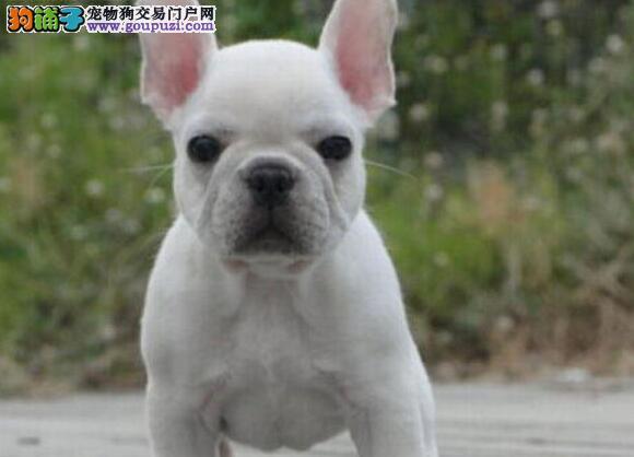 热销法国斗牛犬幼犬,金牌店铺信誉第一,微信咨询看狗