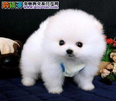 金华博美 纯种球体博美犬松鼠犬微笑精灵纯白小雪球