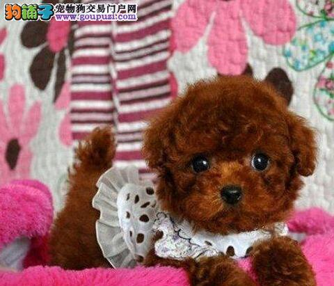 怎样才能买到自己满意的泰迪犬