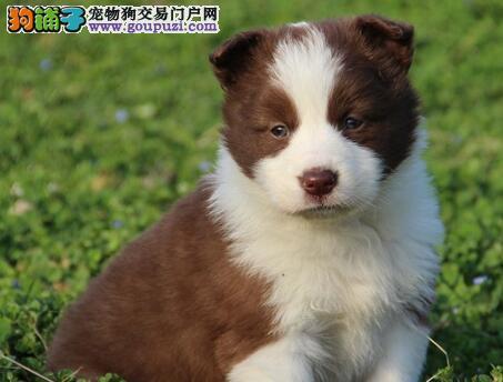 出售纯种高品质最聪明的武汉边境牧羊犬 品质保证
