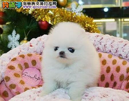 重庆出售可爱健康的博美犬喜欢的来 公母全部都有1
