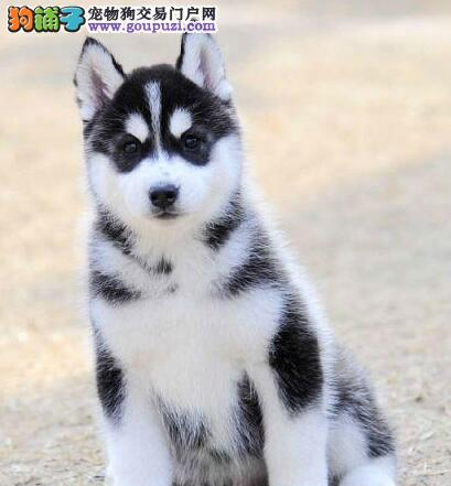 大型专业培育哈士奇幼犬包健康冠军级血统品质保障