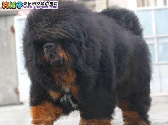 热销多只优秀的三亚纯种藏獒幼犬冠军级血统品质保障3