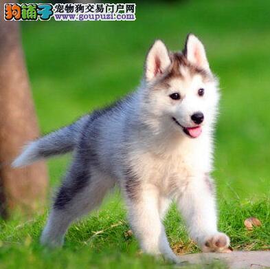 个性哈士奇雪橇犬太原特价啦 品质保证 纯种可当面挑选