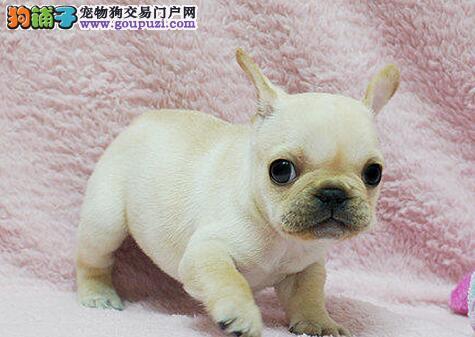 法牛 带血统 三个月幼犬健康有保障正规繁育中心出售图片
