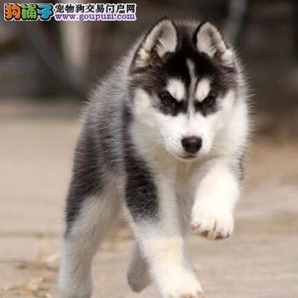 低价出售活泼帅气的南京哈士奇幼犬 签协议包养活