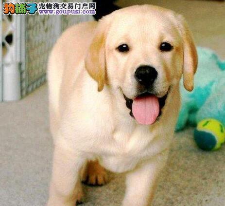 重庆出售纯种健康拉布拉多犬 可签健康协议包活