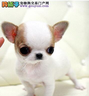 精品高品质墨西哥袖珍吉娃娃幼犬出售'极品血统