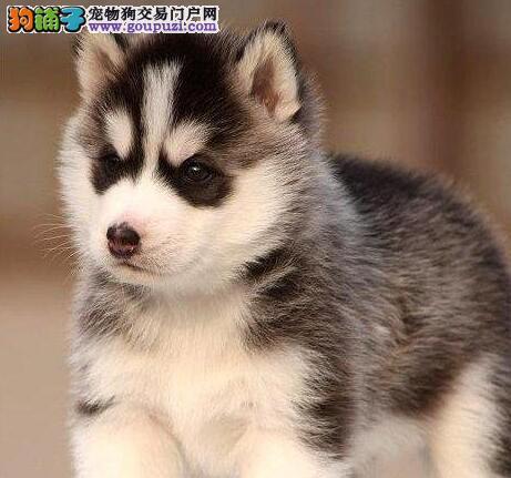 精品哈士奇幼犬一对一视频服务买着放心质量三包多窝可选