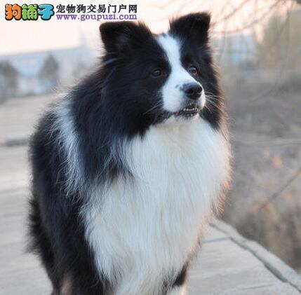 天津赛级边牧幼犬边境牧羊犬国外引进自家繁殖宠物狗售