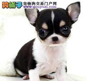 顶级优秀的纯种吉娃娃廊坊热卖中欢迎爱狗人士上门选购