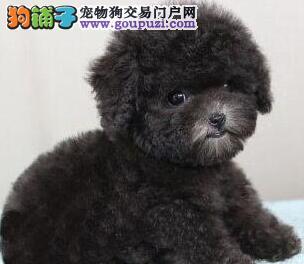 怎样的泰迪犬买不得