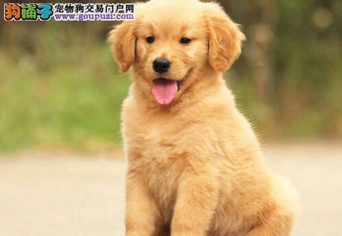 优惠促销精品西安金毛犬保证健康证书齐全