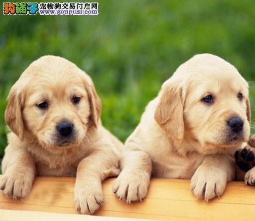 犬舍直销高品质绵阳拉布拉多犬包养活保健康