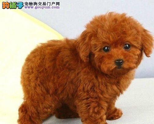 太原实体犬舍繁殖出售深红色泰迪犬 茶杯玩具血系均有