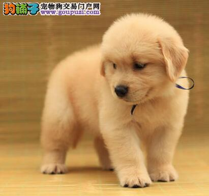 精心繁育黄金猎犬出售颜色正体型完美性格温顺金毛2