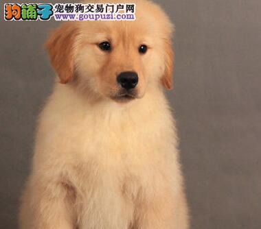 葫芦岛热卖金毛多只挑选视频看狗包养活送用品