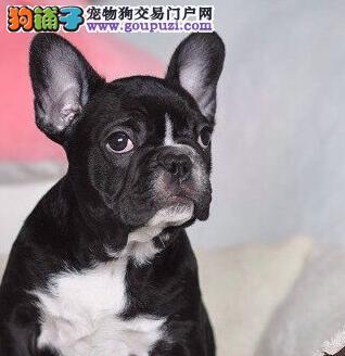 家养极品法国斗牛犬出售 可见父母颜色齐全以品质惊世人2