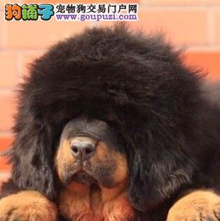 纯血统藏獒幼犬,假一赔十品质第一,三包终生协议