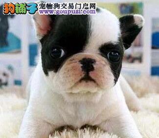 家养极品法国斗牛犬出售 可见父母颜色齐全以品质惊世人3