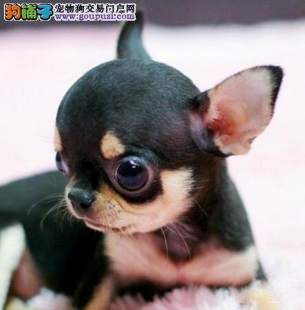 石嘴山买纯种墨西哥吉娃娃三年联保签协议赠送狗狗用品