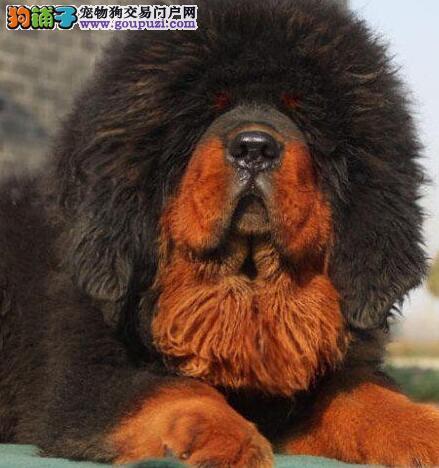 赛级藏獒幼犬,血统纯正包品质,可签保障协议