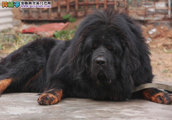 昆明犬舍出售纯正狮王血系藏獒 可签订协议书保质量